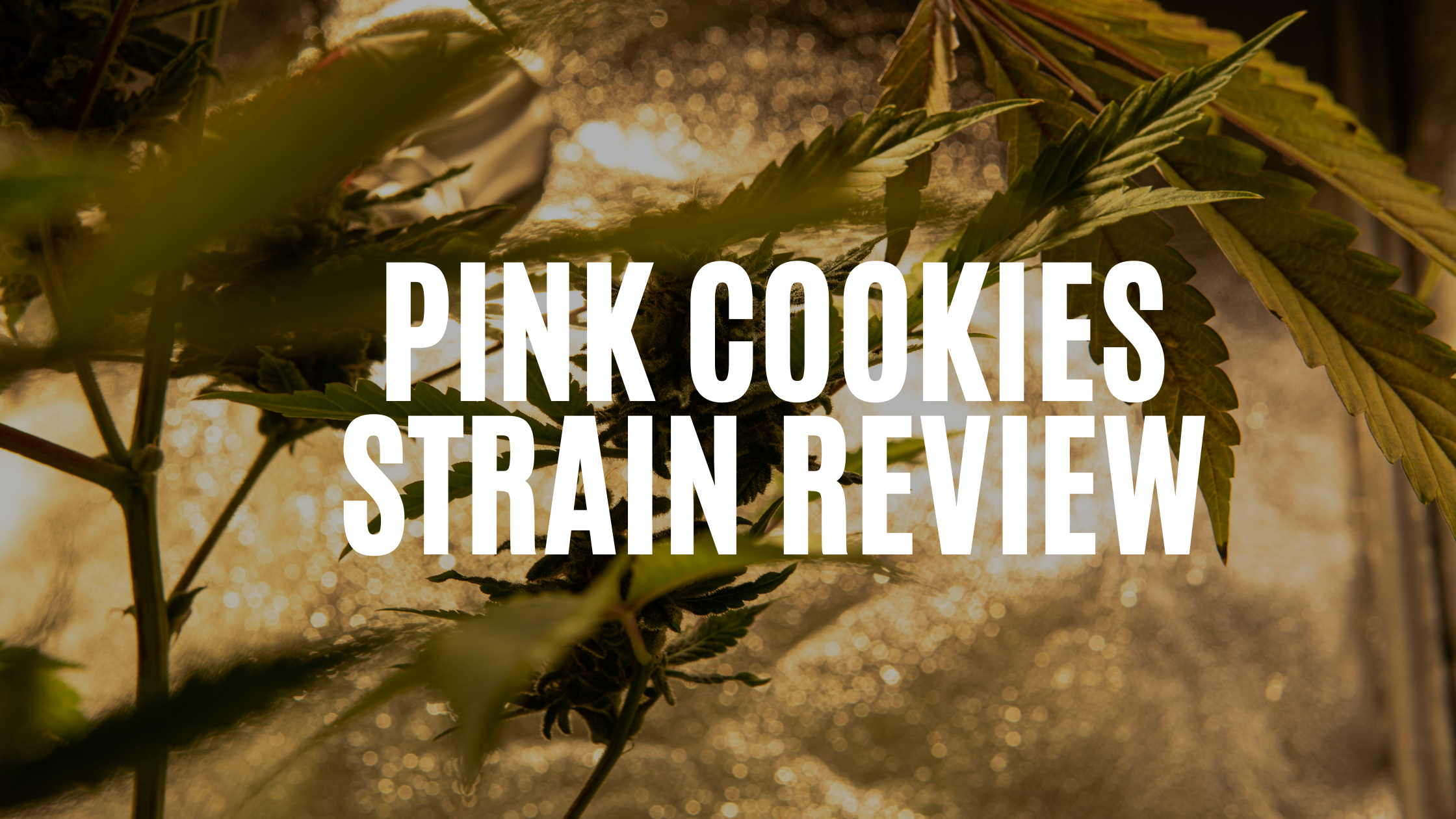 pink-cookies-strain-review
